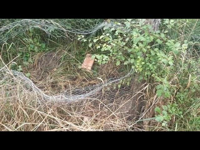 palombe.org - Destruction de la volière par les sangliers