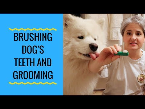 How to Brush Your Samoyed Dog's Teeth and Grooming