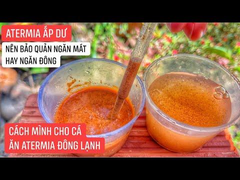 Cách mình bảo quản ATERMIA đã ấp không bị mất chất dinh dưỡng dù để cả tháng - Guppy Huy Nguyễn