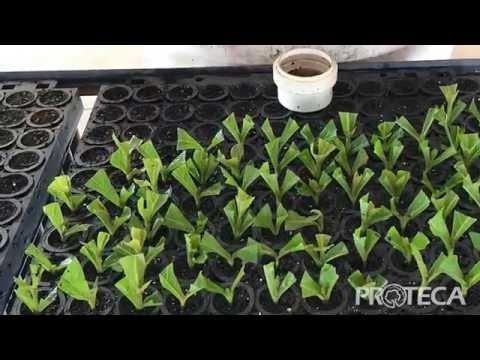 Como é feita a multiplicação dos clones de teca?