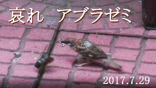 毎年7月下旬から8月にかけて、我が家の庭のモクレンの周辺で羽化する...