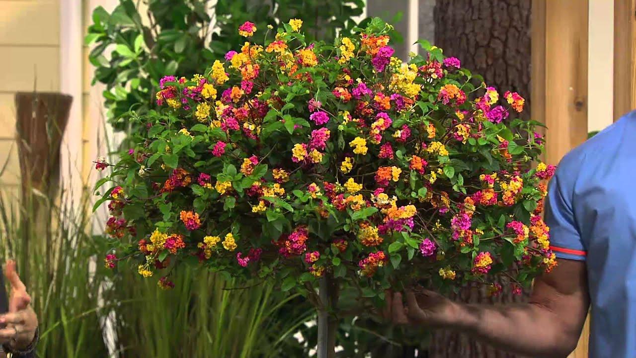 cottage farms confetti lantana patio tree with kerstin lindquist rh youtube com cottage farms plants qvc cottage farms plants qvc