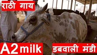 Rathi cow for sale at Mandi Dabwali