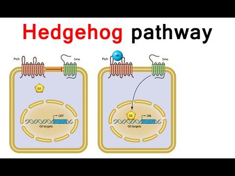 Hedgehog Signaling Pathway