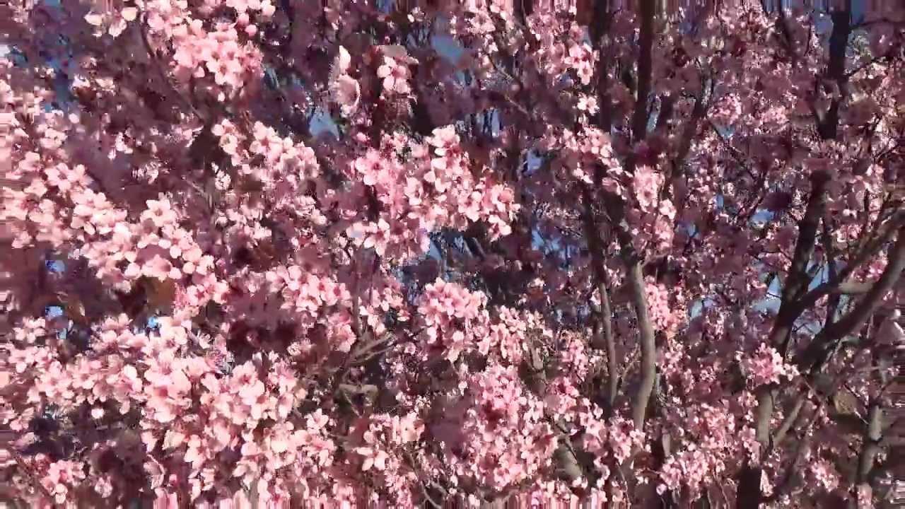 Purple Leaf Plum 10 Seconds In The Garden Youtube