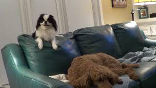 Japanese Chin Playing