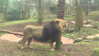 Asiatic Lions, Paignton Zoo (8th March 2015)