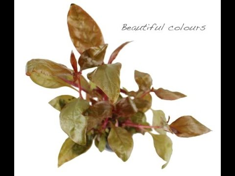 Alternanthera lilacina - a vivid stem aquarium plant which grows well in most aquariums