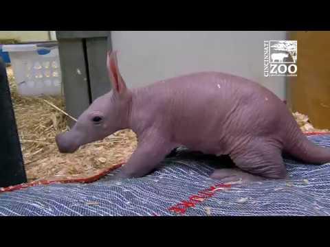 Baby Aardvark - Cincinnati Zoo