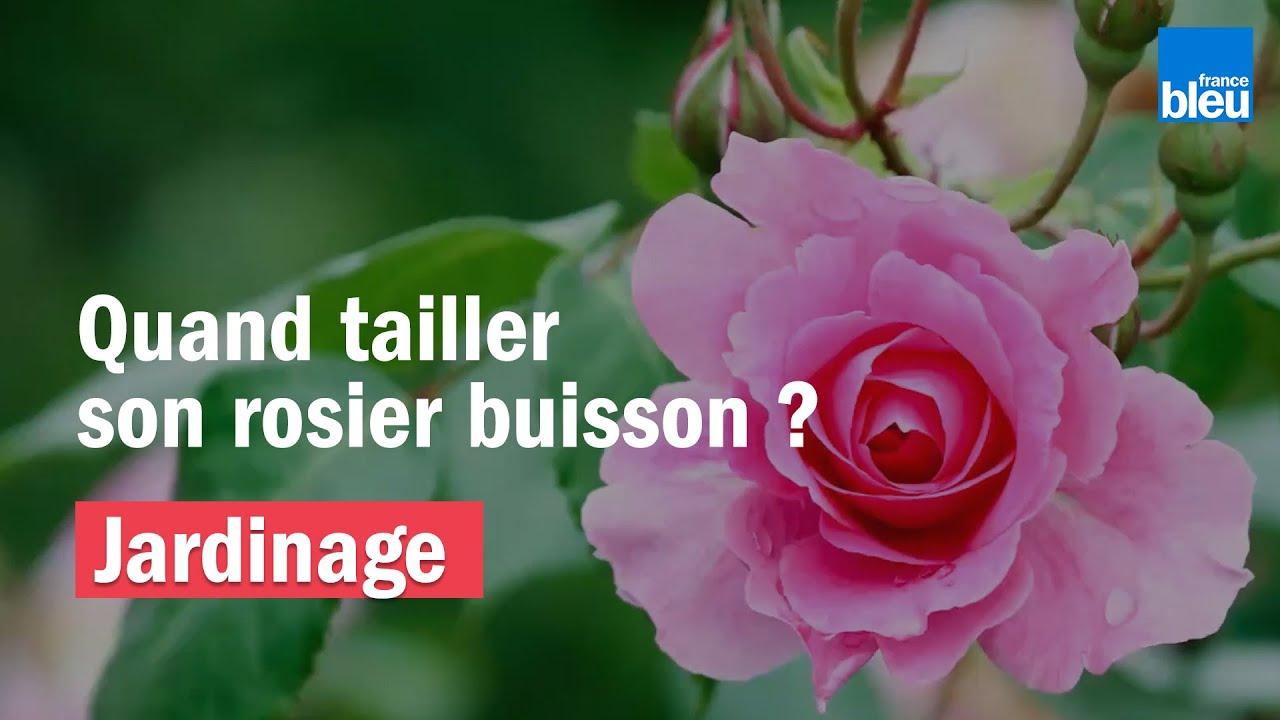 Quand Et Comment Tailler Un Rosier jardinage | quand tailler son rosier buisson