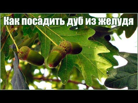 Как вырастить дуб из желудя осенью часть 1