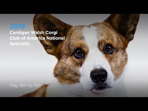 Cardigan Welsh Corgi Club of America National Specialty - May 10, 2019