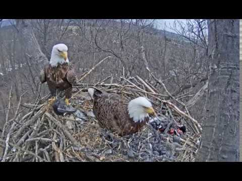 Hanover PA Bald Eagle Nest cam- Eagles bring a live bird to the nest