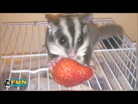 SUGAR GLIDER ultimate instagram pets video,very cute pet