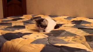 Копия видео Черно-белый котенок из питомника Boyars