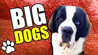 25 Big Dogs | Try Not To Laugh | That Pet Life