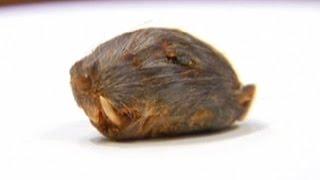 Florida Man Says He Found A Rat