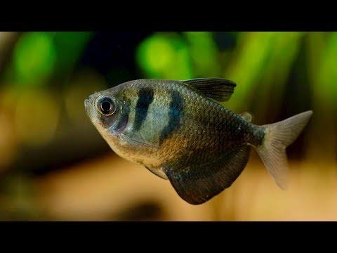 Black Skirt Tetra Fish - 55 Gallon Planted Aquarium Rescaped