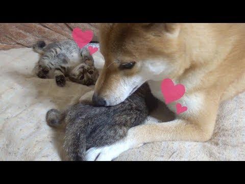柴犬の側で安心して遊ぶ子猫--Kitten playing fun next to Shiba Inu----