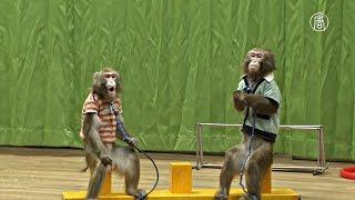 Южная Корея: обезьянье шоу на удачу (новости)