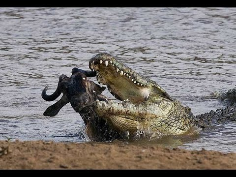 Wild Animals Documentary - Crocodile Attacks Discovery Docum