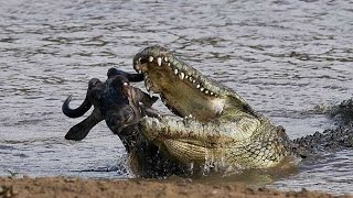Wild Animals Documentary - Crocodile Attacks Discovery Documentary Animal HD