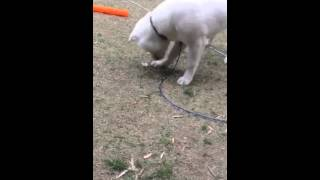 紀州犬に初めて見る氷を与えてみました。