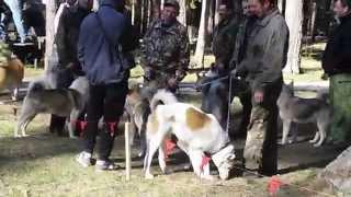 Выставка охотничьих собак. Лайки