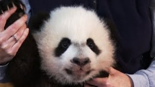 First Look at New Giant Panda Cub Bei Bei