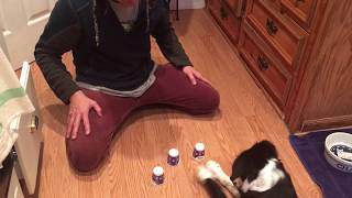 Border Collie Luna Plays The Cup Game