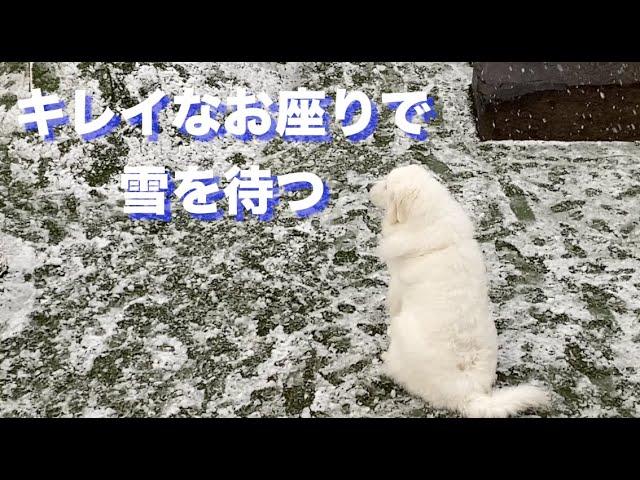 雪が降ると元気になるグレートピレニーズ