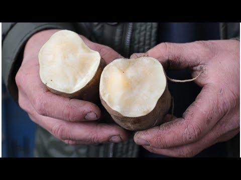 Lusten je kinderen geen groenten? laat ze anders eens proeven van yacon, de knol die naar appel, wa