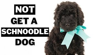 10 Big Reasons Why you should NOT get a Schnoodle Dogs