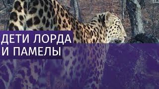 видео Пополнение в семействе дальневосточных  леопардов