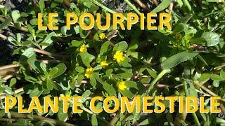Plante sauvage LE POURPIER comestible et médicinale