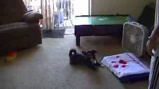 Shih-tzu/cairn Full Grown Playing Fetch (super Cute)!!!