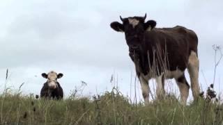 Krowy i byki na wypasie