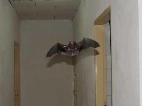 Vampire bat attack - Y...
