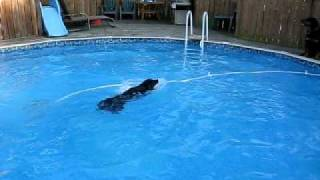 Rottweilwer Jumping And Swimming In Backyard Pool