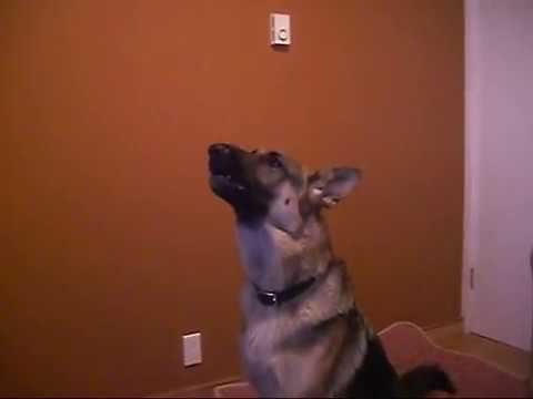 Dugan the talking, singing German Shepherd ...Can you watch this video without smiling?