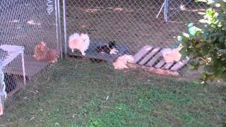 Spike - Stud - Black & White Parti-mix Pomeranian
