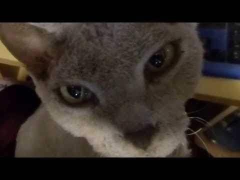 Gizmo the Devon Rex Cat - Bugging me while i'm on facebook