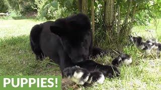 German Shepherds fascinated by newborn chicks