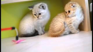 Котята на продажу