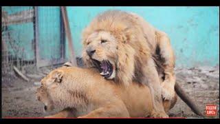 Стерва соблазняет львов ,а Геку хоть и холодно ,но свой пост он не покидает !