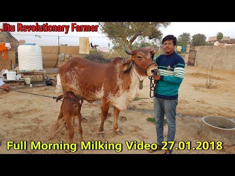 👍GIR COW Milk 20-22 Litre a day👍Price- 86000 Rs @#Churu, Rajasthan.👍