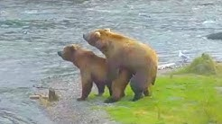 Bears mate then get in quarrel - Brown Bears Live Cam Highlight