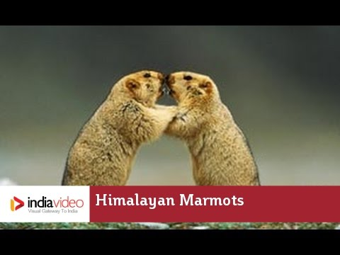 Himalayan Marmots – the mountain squirrel