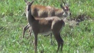 Veado campeiro, Ozotoceros bezoarticus, Animais selvagens, mamíferos