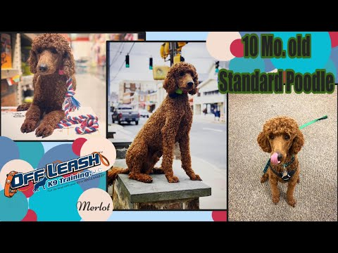 10mo Standard Poodle (Merlot) | 2 Week Board and Train | Best Dog Trainers in Delaware